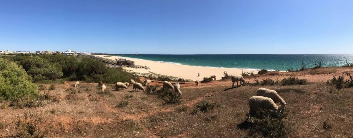 Küstenwanderung Algarve Etappe 1 16 Schafe weiden an der Praia da Falésia einem der bekanntesten und längsten Strände der Algarve