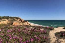 Küstenwanderung Algarve Etappe 1 19 blühende Strandblumen an der Praia da Falésia